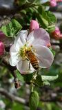 Honey bee in an apple blossom. Honey be in an apple blossom in early spring in western Montana. -Victor,MT Stock Image