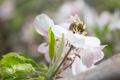 Honey Bee on an Apple Blossom. Shallow Depth of Field Stock Photography