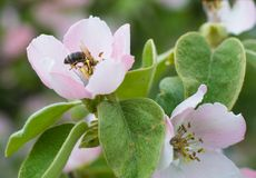 Honey bee on apple tree flower blossom Stock Images