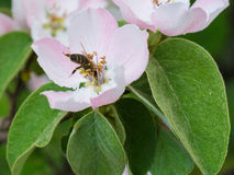 Honey bee on apple tree flower blossom. Macro of honey bee on apple tree flower blossom Stock Images