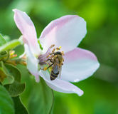 Honey bee on the apple tree flowers blossom closeup. Honey bee on the apple tree flowers in the spring forest blossom closeup Royalty Free Stock Photos
