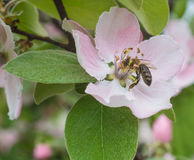 Honey bee on the apple tree flowers blossom closeup Stock Images