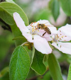 Honey bee on the apple tree flowers blossom closeup. Honey bee on the apple tree flowers in the spring forest blossom closeup Stock Image