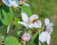 Honey bee on the apple tree flowers blossom closeup Royalty Free Stock Photo