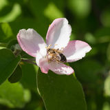 Honey bee on the apple tree flowers blossom closeup. Honey bee on the apple tree flowers in the spring forest blossom closeup Stock Photography