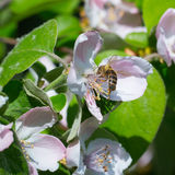 Honey bee on the apple tree flowers blossom closeup. Honey bee on the apple tree flowers in the spring forest blossom closeup Royalty Free Stock Photo