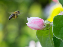 Honey bee on the apple tree flowers blossom closeup. Honey bee on the apple tree flowers in the spring forest blossom closeup Stock Photo