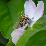 Honey bee on the apple tree flowers blossom closeup. Honey bee on the apple tree flowers in the spring forest blossom closeup Royalty Free Stock Image