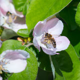 Honey bee on the apple tree flowers blossom closeup. Honey bee on the apple tree flowers in the spring forest blossom closeup Royalty Free Stock Images