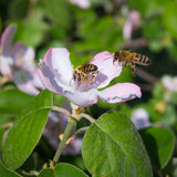 Honey bee on the apple tree flowers blossom closeup. Honey bee on the apple tree flowers in the spring forest blossom closeup Stock Images