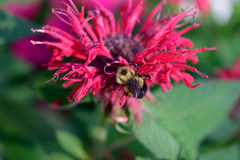 Honey Bee auf Bienen-Balsam (Monardra-didyma) Lizenzfreie Stockfotografie