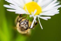 Honey Bee auf einem Gänseblümchen stockfotografie