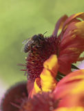 Honey Bee auf einer umfassenden Blume Lizenzfreie Stockfotos