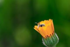Honey Bee auf gelber Blume Stockfotos