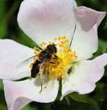 Honey Bee auf Heckenrose Stockbild