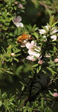 Honey Bee auf Manuka-Blume Lizenzfreies Stockfoto