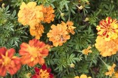 Honey Bee auf orange Blume im botanischen Garten Stockfotos