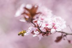 Honey bee with baskets flying and pollinating pink cherry flowers royalty free stock images