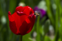 Honey bee with a beautiful red tulip. Red Tulip with a Honey bee Stock Image
