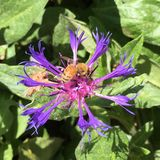 Honey bee on bee balm royalty free stock photo