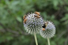 Honey Bee, Bee, Flora, Insect royalty free stock image