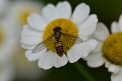 Honey Bee, Bee, Flower, Insect stock photos