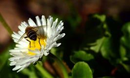 Honey Bee, Bee, Flower, Nectar royalty free stock photography