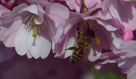 Honey Bee, Bee, Flower, Nectar Stock Image