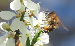 Honey Bee, Bee, Insect, Blossom royalty free stock photos