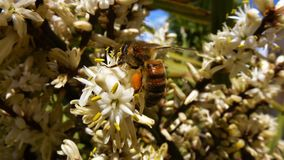 Honey Bee, Bee, Insect, Flora royalty free stock photos