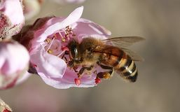 Honey Bee, Bee, Insect, Membrane Winged Insect Royalty Free Stock Photos
