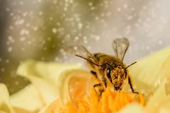 Honey Bee, Bee, Insect, Membrane Winged Insect Stock Photos