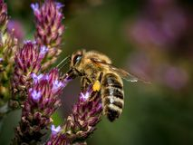 Honey Bee, Bee, Insect, Nectar stock photos