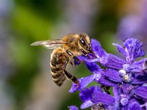 Honey Bee, Bee, Insect, Nectar royalty free stock photography
