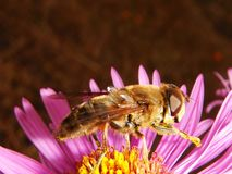 Honey Bee, Bee, Insect, Nectar stock photography
