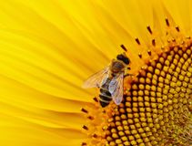 Honey Bee, Bee, Nectar, Insect stock photos