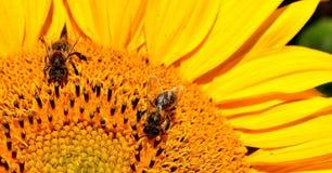 Honey Bee, Bee, Yellow, Flower Stock Images