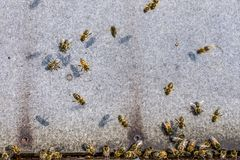 Honey bee beehive fly in carry pollum working in the summertime. Honey bee beehive - fly in carry pollum working in the summertime stock photography