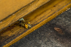 Honey bee beehive flying in and carry pollen Stock Photos