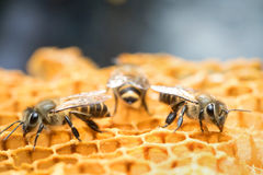Honey Bee and beehive in Thailand. Stock Photos