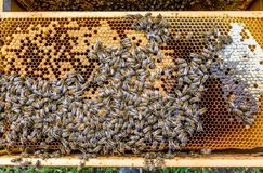 Honey bee beehive Wax Frame with hundrets of bees working. Honey bee beehive Wax Frame with hundrets of bees - working stock images