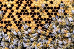 Honey bee beehive Wax Frame with hundrets of bees working. Honey bee beehive Wax Frame with hundrets of bees - working stock photo