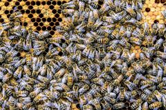 Honey bee beehive Wax Frame with hundrets of bees working. Honey bee beehive Wax Frame with hundrets of bees - working royalty free stock photography