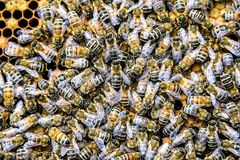Honey bee beehive Wax Frame with hundrets of bees working. Honey bee beehive Wax Frame with hundrets of bees - working royalty free stock images