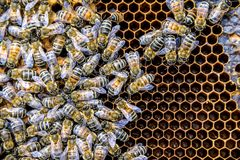 Honey bee beehive Wax Frame with hundrets of bees working. Honey bee beehive Wax Frame with hundrets of bees - working royalty free stock photo