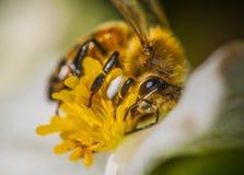 Honey Bee on a Begonia Stock Photos
