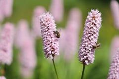 Honey bees on the bistort flower. Honey bee on the bistort flower. Bistorta officinalis, known as bistort, common bistort, European bistort or meadow bistort, is stock images