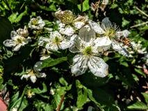 Honey bee on Blackberry Blossoms in Utah America USA Royalty Free Stock Photo