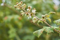 Honey bee on blackberry bramble Stock Photos