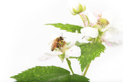 Honey Bee Blackberry Flower Imagenes de archivo